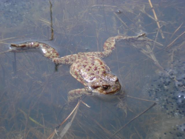 Една доста голяма и гнусна жаба...