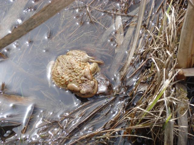Влюбени жаби...